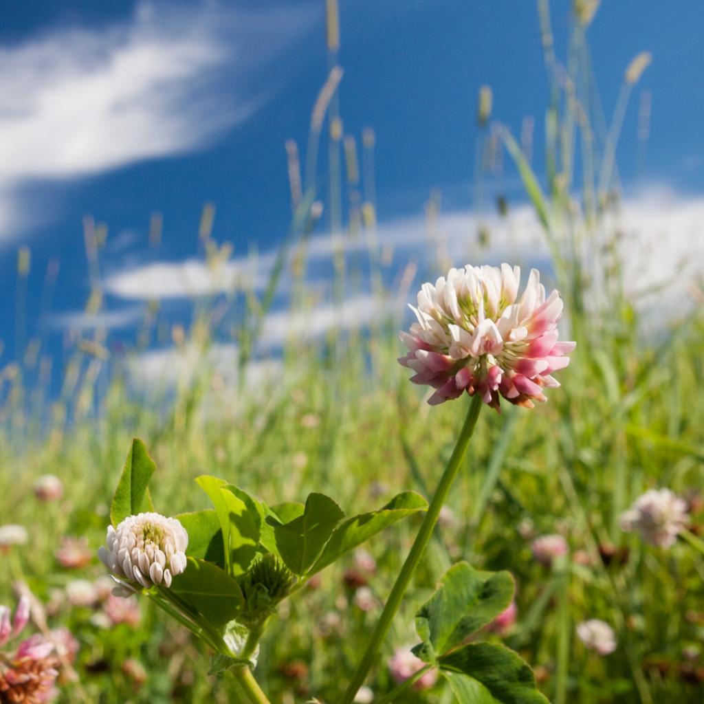 Clover flowers in the field.